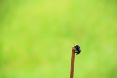 L'abeille de charpentier masculine de vallée sur la tige de fer Photos stock