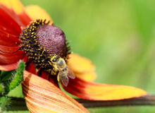 L'abeille de miel rassemblant le nectar sur un rudbeckia ou un noir jaune a observé Image libre de droits