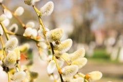 L'abeille de miel rassemble le plan rapproché de fleurs de saule de nectar images stock