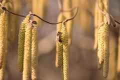 L'abeille de miel rassemble le pollen sur un arbuste de noisette de tire-bouchon au printemps sur le fond brouillé images libres de droits