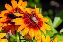 L'abeille de miel rassemblent le nectar de la tête de fleur jaune et orange photo libre de droits