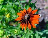 L'abeille de miel rassemblent le nectar de la tête de fleur jaune et orange image libre de droits