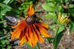 L'abeille de miel rassemblent le nectar de la tête de fleur orange du rudbecki image libre de droits