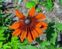 L'abeille de miel rassemblent le nectar de la tête de fleur orange du rudbecki photo libre de droits