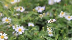 L'abeille de travail pollinise la fleur de marguerite pour obtenir le nectar pour le miel clips vidéos