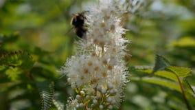 L'abeille de travailleur volante rassemble le nectar du champ des fleurs blanches Fond de nature d'été closeup banque de vidéos