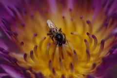 L'abeille est sur le pollen du lotus pourpre photo stock