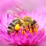 L'abeille européenne de miel Photo libre de droits