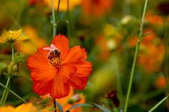 l'abeille font le miel Photographie stock libre de droits