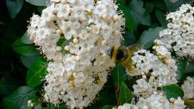 L'abeille, la guêpe, le frelon sur la fleur, mouche dans le mouvement lent, vue en gros plan, pour pollinisent les fleurs, ressor banque de vidéos