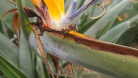 l'abeille log?e dans une fleur color?e a appel? les reginae de strelitzia ou l'oiseau du paradis photo stock