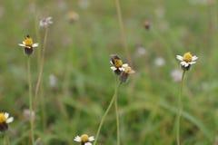 L'abeille mange du miel photo libre de droits