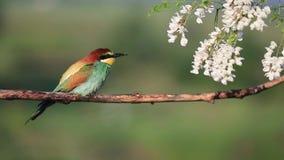 l'Abeille-mangeur chante tout en se reposant sur une branche sèche et en fleurs d'acacia clips vidéos