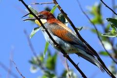 L'abeille-mangeur européen est un oiseau incroyablement coloré Photo stock