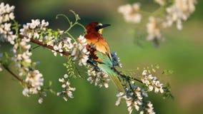 l'Abeille-mangeur s'assied sur une branche parmi les fleurs de l'acacia blanc clips vidéos