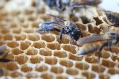 L'abeille nouveau-née Images stock