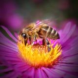L'abeille occidentale de miel Photographie stock libre de droits