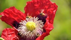 L'abeille plane au-dessus de la fleur rouge de pavot Photos libres de droits