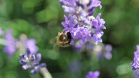 L'abeille pollinisant une longueur de fleur de lavande banque de vidéos