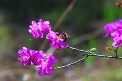 L'abeille pollinise des fleurs de forêt Photographie stock libre de droits