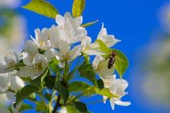 L'abeille pollinise la fleur Image stock