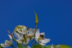 L'abeille pollinise les fleurs Photographie stock libre de droits