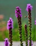 L'abeille pollinise un gayfeather de transitoire, ou le spicata de liatris, Chicago le long de la rivière photos libres de droits
