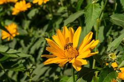 L'abeille pour le rassemblement de miel et le cône solaire fleurissent images stock