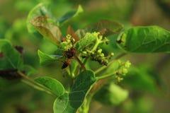 L'abeille qui prennent le nectar photographie stock