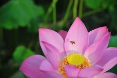L'abeille rassemblant la fleur de lotus nectar-rouge est magnifique Photo libre de droits
