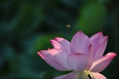 L'abeille rassemblant la fleur de lotus nectar-rouge est magnifique Photographie stock