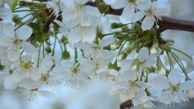 L'abeille rassemblant le pollen de la cerise fleurit sur l'arbre clips vidéos