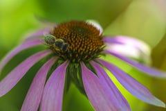 L'abeille rassemble le miel Photo stock