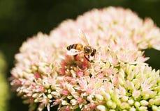L'abeille rassemble le nectar d'une belle fleur photographie stock libre de droits