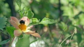 L'abeille rassemble le nectar de la belle fleur sur le fond vert brouillé clips vidéos