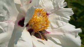 L'abeille rassemble le nectar sur des fleurs banque de vidéos