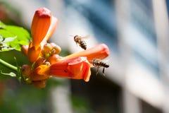L'abeille rassemble le pollen d'une fleur Image libre de droits