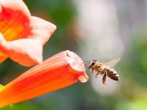 L'abeille rassemble le pollen d'une fleur Images libres de droits
