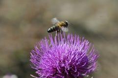 L'abeille rassemble le pollen de la fleur de chardon Macro photo Photo stock