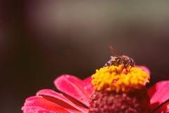 L'abeille rassemble le pollen de la fleur du zinnia rose Un macro d'une abeille sur une fleur de zinnia photos libres de droits