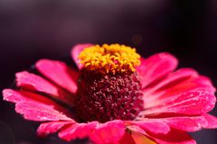 L'abeille rassemble le pollen de la fleur du zinnia rose Un macro d'une abeille sur une fleur de zinnia photos stock
