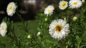 L'abeille rassemble le pollen sur la marguerite blanche de gerber - fin  banque de vidéos