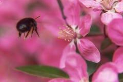 L'abeille rassemble le pollen sur le beau paradis rose APPL de fleurs d'arbre Image stock