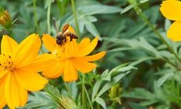 L'abeille rassemblent le pollen de la fleur jaune images libres de droits