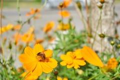 L'abeille rassemblent le pollen de la fleur jaune photo stock