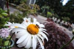 L'abeille recueille la nourriture Photos libres de droits