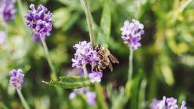 L'abeille s'envole le macro sur une usine de Lavanda Photo stock