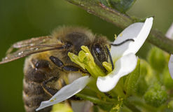 L'abeille se repose sur la fleur Photographie stock libre de droits