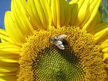 L'abeille se repose sur le tournesol photos stock