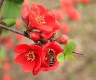 L'abeille se repose sur une fleur Image libre de droits